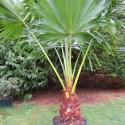 Livistona chinensis 25 l