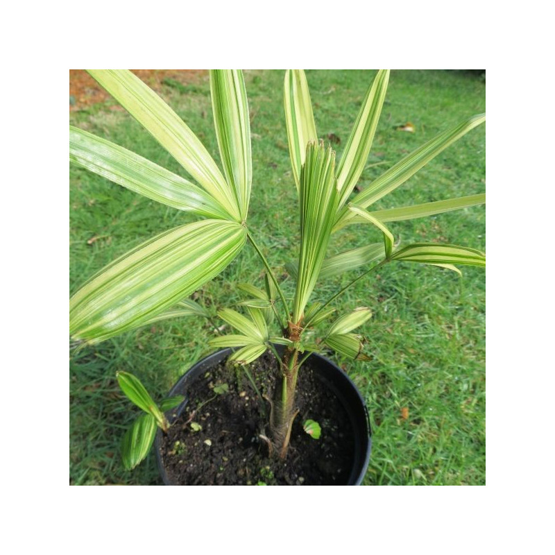 Rhapis excelsa variegata