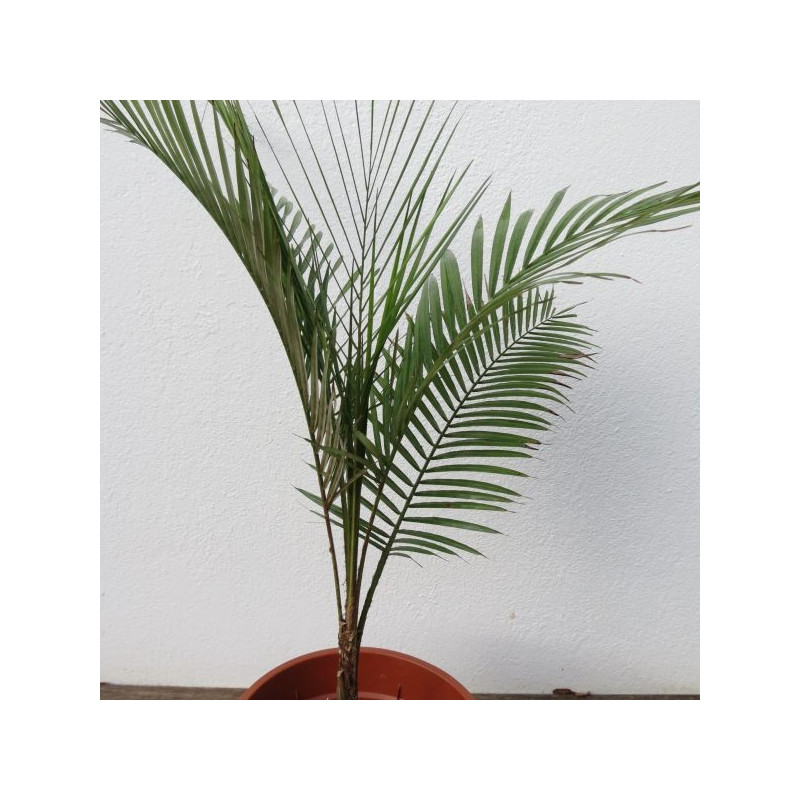 Lytocaryum weddellianum 2 l