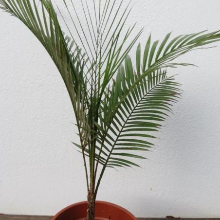 Lytocaryum weddellianum