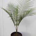 Lytocaryum weddellianum 4 l