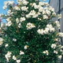 Nerium oleander Topaze