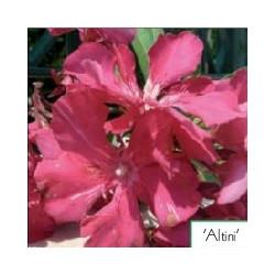 Nerium oleander Altini