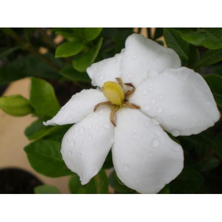 Gardenia Kleim's hardy
