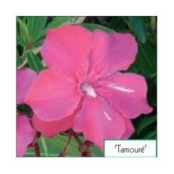 Nerium oleander Tamouré