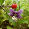 Lycium barbarum n°1 lifeberry®