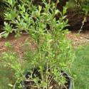 Lycium barbarum n°1 lifeberry