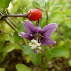 Lycium barbarum sweet lifeberry®