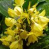 Hedychium wardii