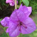 Bougainvillea violet de Mèze