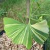 Ginkgo biloba variegata