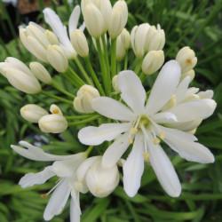 Agapanthus x Kilmurry white®