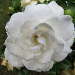 Gardenia crown jewel®