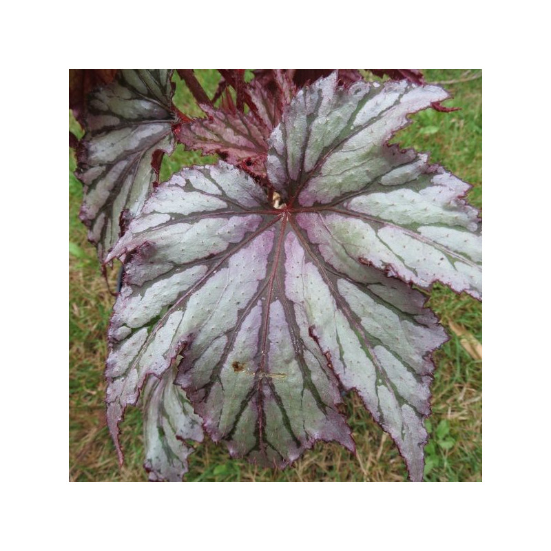 Begonia garden angel blush