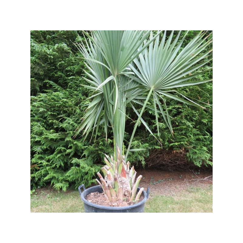 Sabal palmetto 70 l