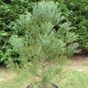 Sequoiadendron giganteum 25 l