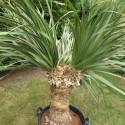 Nolina longifolia 70 l