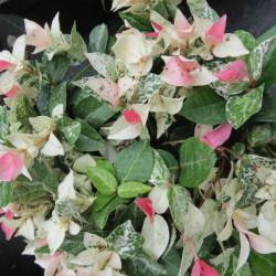 Trachelospermum tricolor