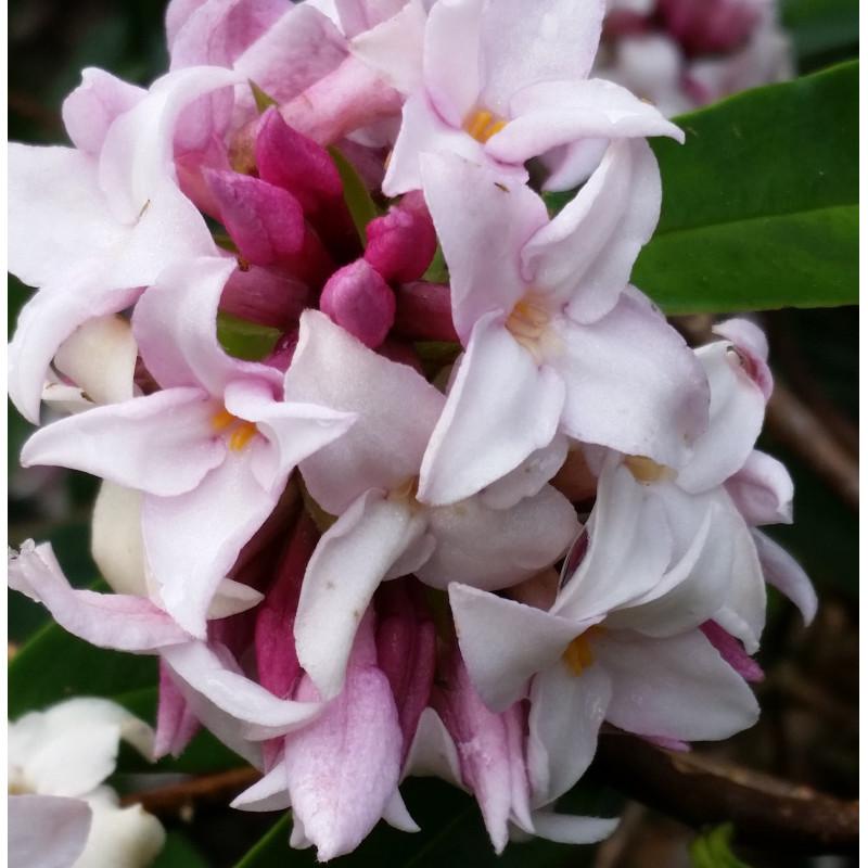 Daphne x perfume princess™
