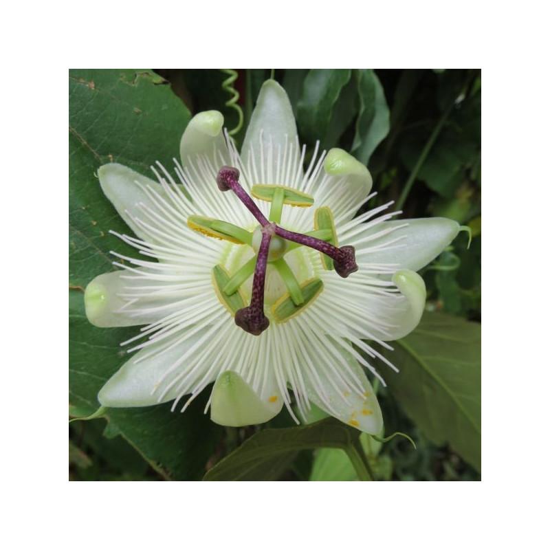 Passiflora Constance Eliot