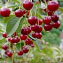 Prunus x cherry boop®