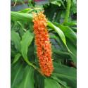 Hedychium 'Assam orange'
