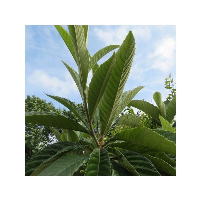 Eriobotrya japonica Rose Anne