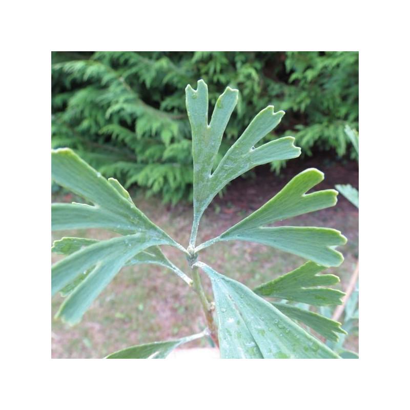 Ginkgo tubifolia
