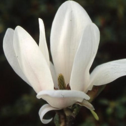 Magnolia little gem