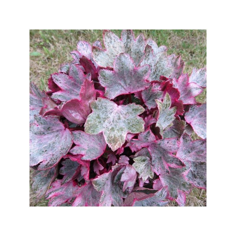Saxifraga crystal pink