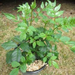Zanthoxyllum americanum