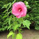 Hibiscus moscheutos planet® Solène
