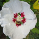 Hibiscus syriacus red heart