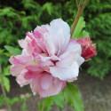 Hibiscus French cabaret® pastel