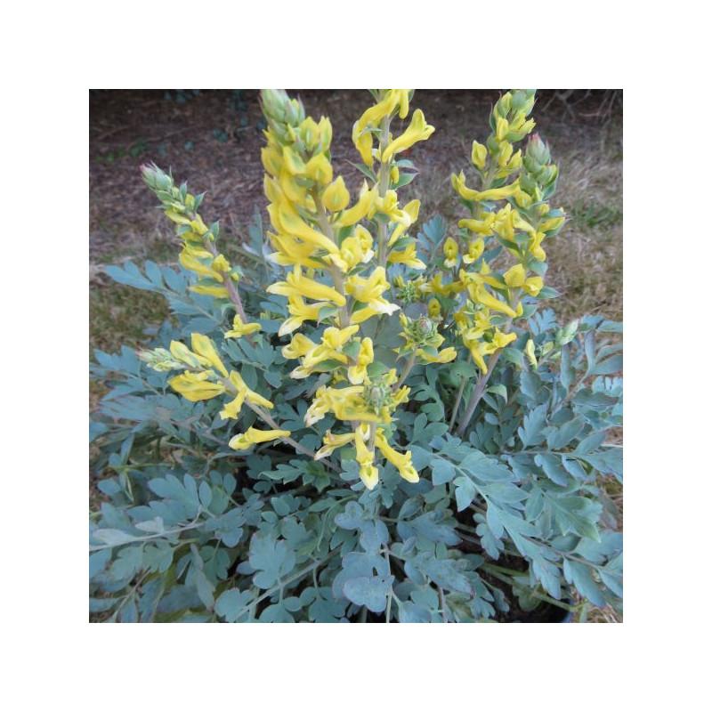 Corydalis x canary feathers®