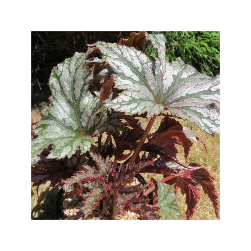 Begonia garden angel™ silver