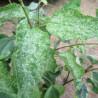 Cercidiphyllum chameleon