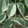 Aralia elata variegata