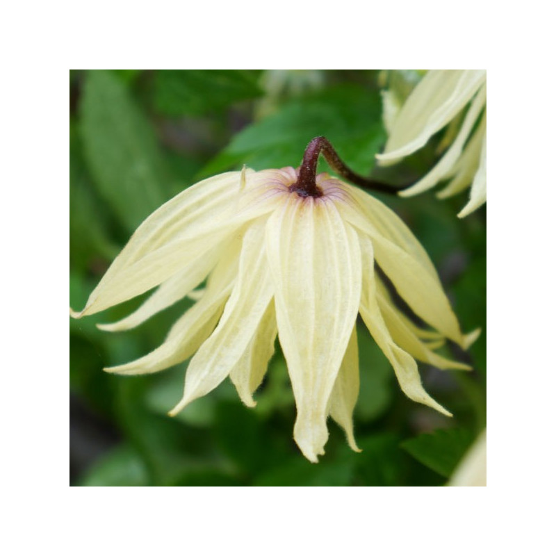 Clematis amber®