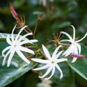 Jasminum nitidum angel wings