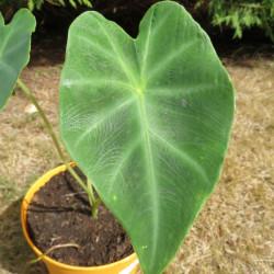 Colocasia affinis jenengsii