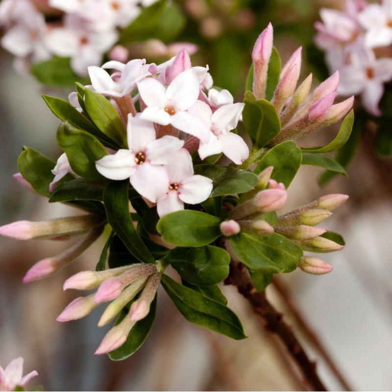 Daphne x burkwoodii Somerset
