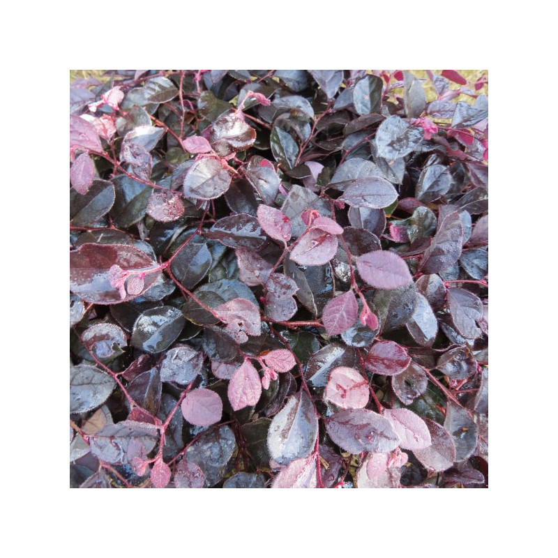 Loropetalum ruby runner