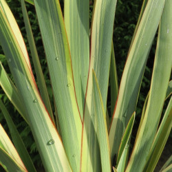 Phormium wings of world