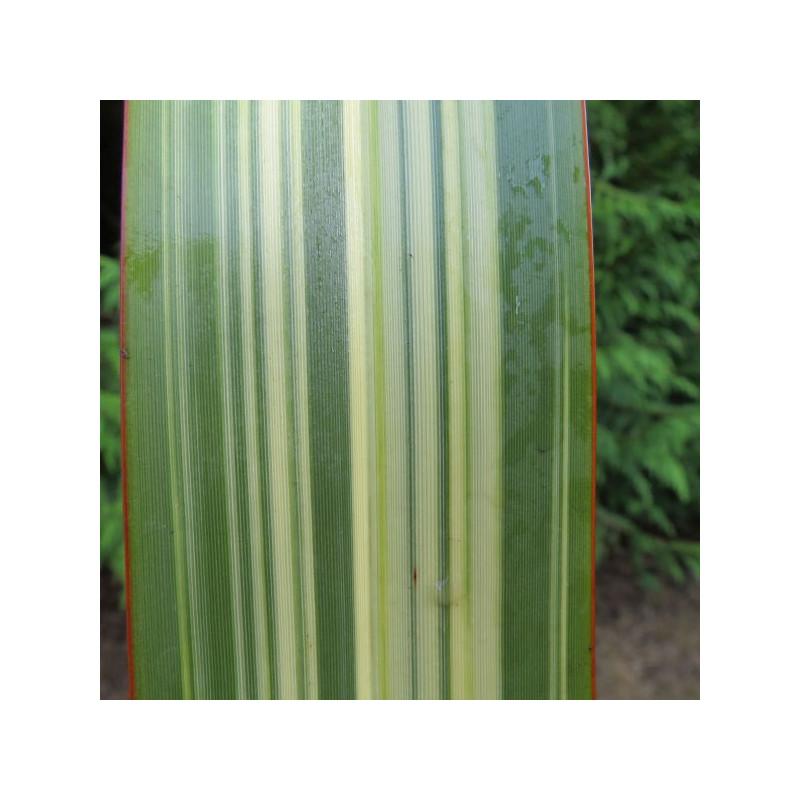 Phormium williamsii variegata