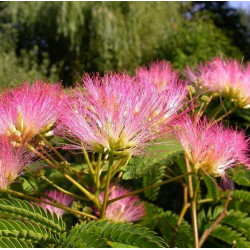 Albizia tropical dream