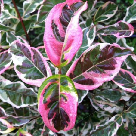Cornus variegated stellar pink