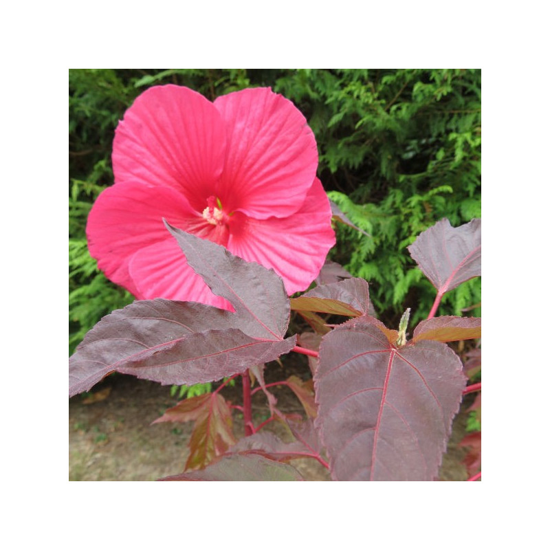 Hibiscus carrousel® pink passion