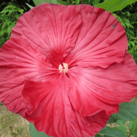 Hibiscus summerific® cranberry crush