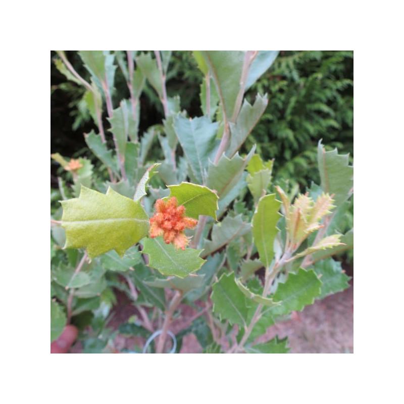 Banksia praemorsa red
